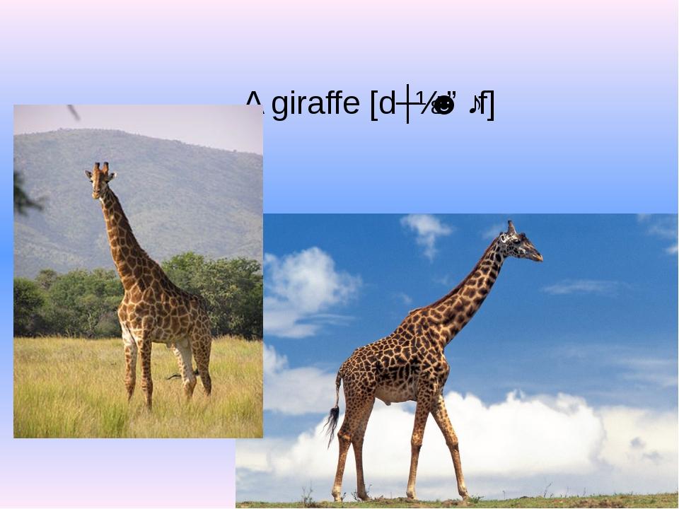 A giraffe[dʒɪˈrɑːf]
