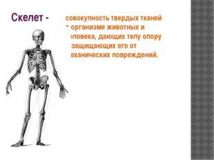 Скелет - совокупность твердых тканей в организме животных и человека, дающих