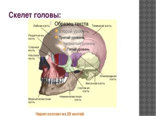 Скелет головы: Череп состоит из 29 костей