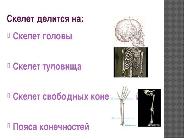 Скелет делится на: Скелет головы Скелет туловища Скелет свободных конечностей...