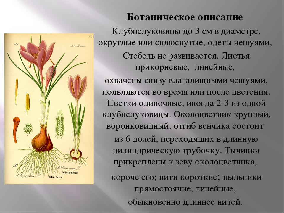 Ботаническое описание Клубнелуковицы до 3 см в диаметре, округлые или сплюсну...