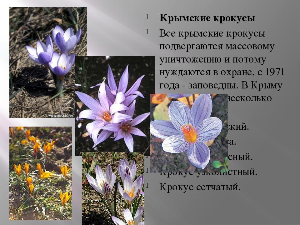 Крымские крокусы Все крымские крокусы подвергаются массовому уничтожению и по...