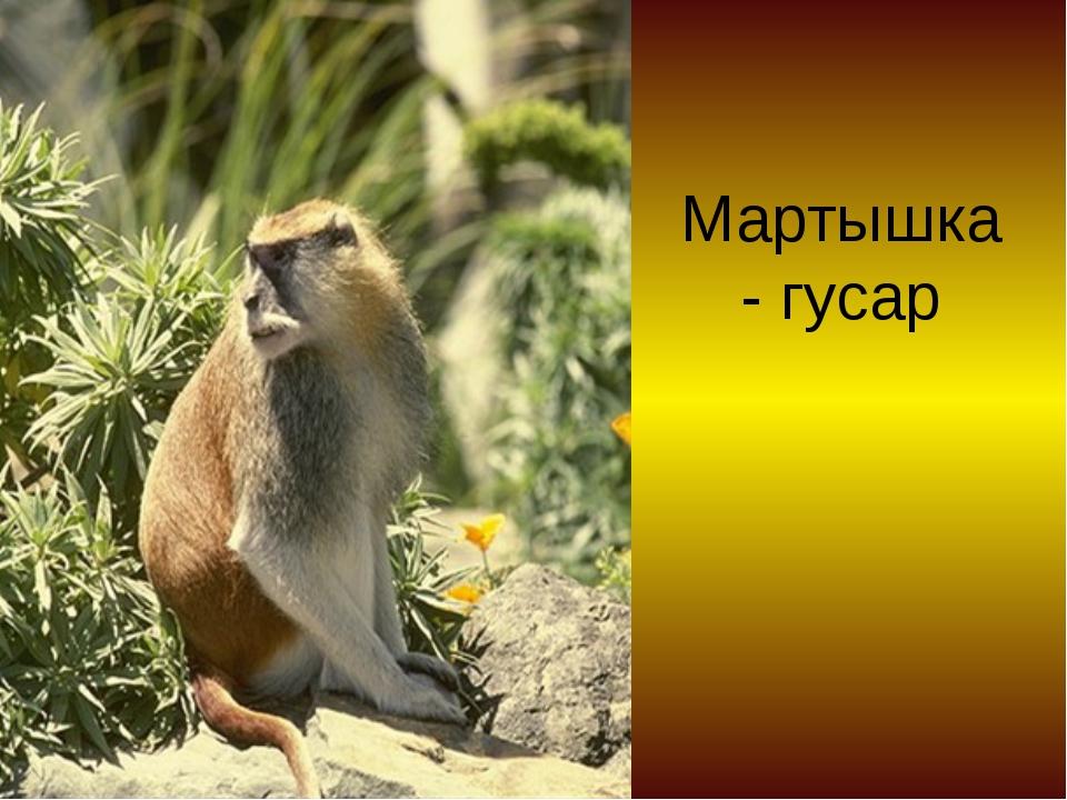 Мартышка - гусар