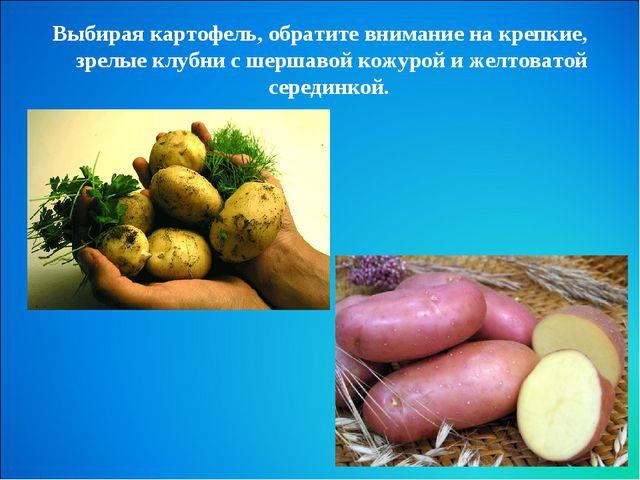 Выбирая картофель, обратите внимание на крепкие, зрелые клубни с шершавой кож...