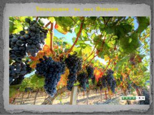 Виноградник на юге Испании