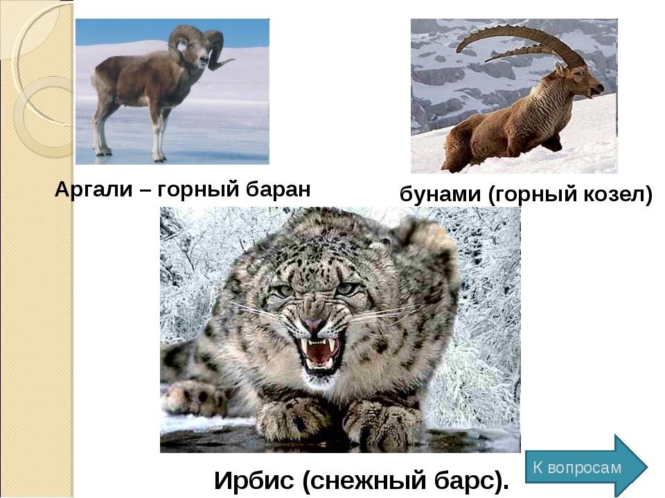 Аргали – горный баран бунами (горный козел) Ирбис (снежный барс). К вопросам