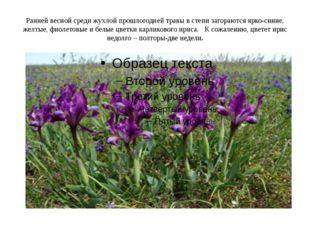 Ранней весной среди жухлой прошлогодней травы в степи загораются ярко-синие,