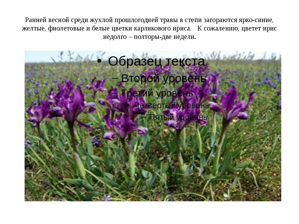 Ранней весной среди жухлой прошлогодней травы в степи загораются ярко-синие,...