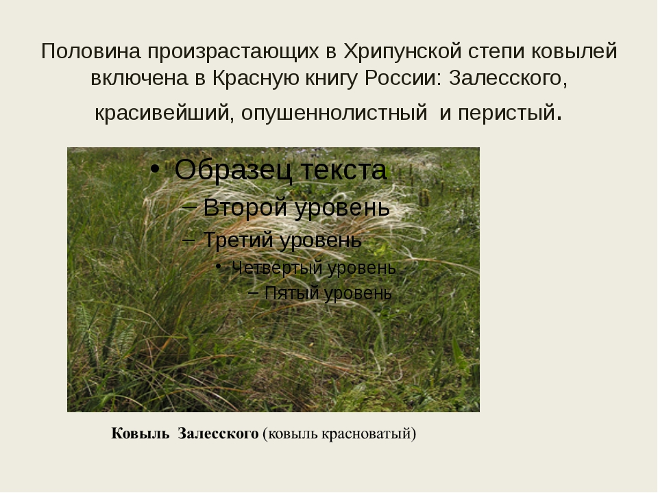 Половина произрастающих в Хрипунской степи ковылей включена в Красную книгу Р...