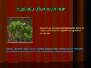 Баранец обыкновенный Многолетнее вечнозеленое травянистое растение. Стебли гу