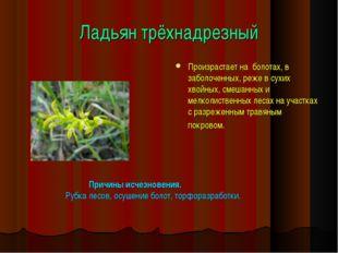 Ладьян трёхнадрезный Произрастает на болотах, в заболоченных, реже в сухих хв