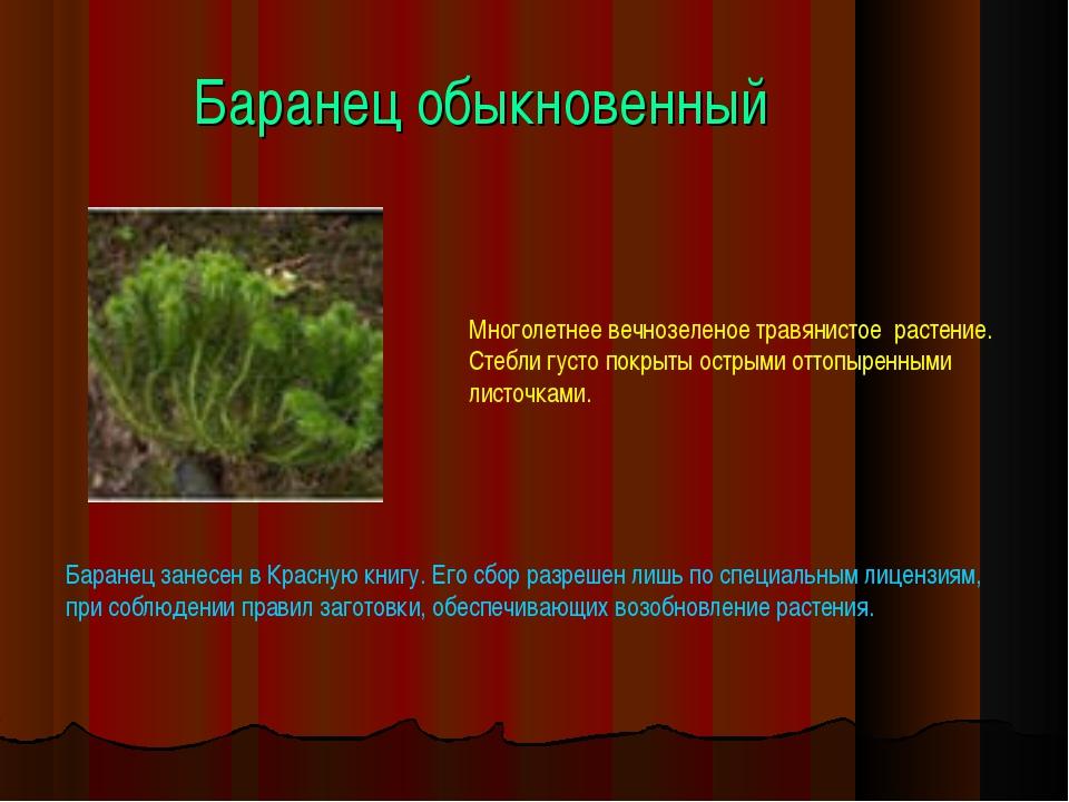 Баранец обыкновенный Многолетнее вечнозеленое травянистое растение. Стебли гу...