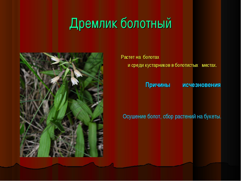 Дремлик болотный Растет на болотах и среди кустарников в болотистых местах. П...