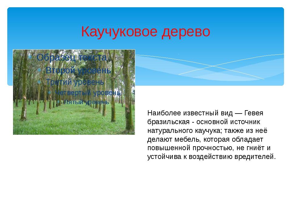 Каучуковое дерево Наиболее известный вид—Гевея бразильская - основной источ...