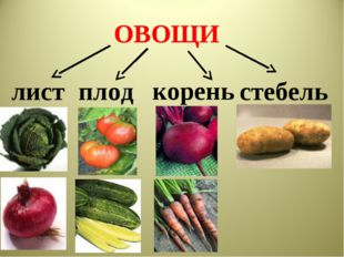 ОВОЩИ лист корень плод стебель