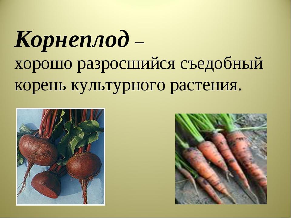 хорошо разросшийся съедобный корень культурного растения. Корнеплод –