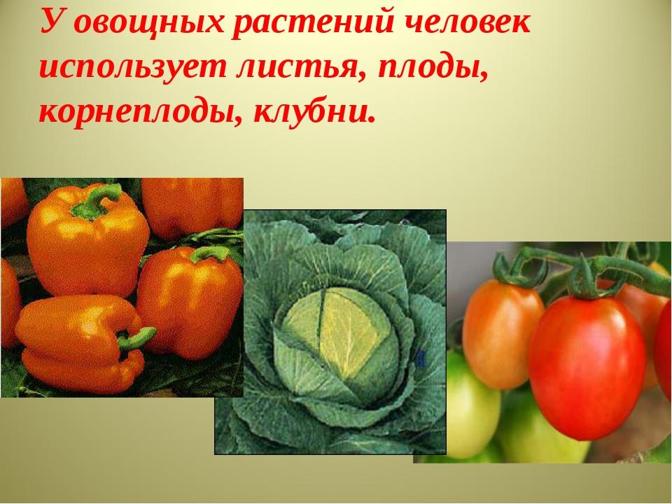 У овощных растений человек использует листья, плоды, корнеплоды, клубни.