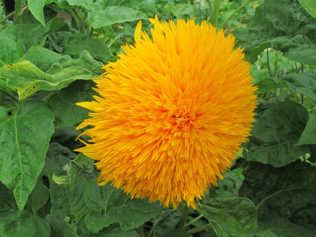 Цветок солнца это