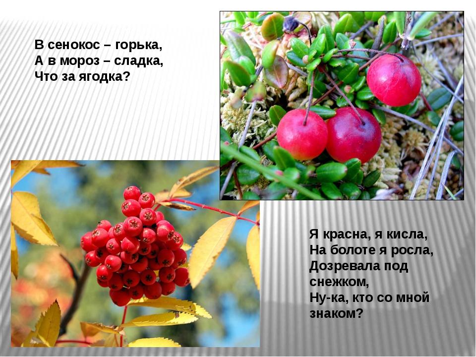 В сенокос – горька, А в мороз – сладка, Что за ягодка? Я красна, я кисла, Н...