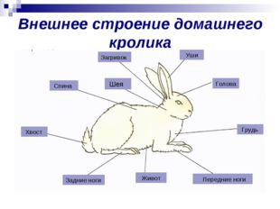 Внешнее строение домашнего кролика Загривок Уши Голова Грудь Передние ноги Жи