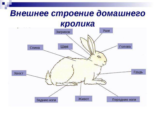 Внешнее строение домашнего кролика Загривок Уши Голова Грудь Передние ноги Жи...