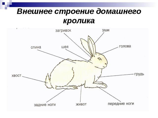 Внешнее строение домашнего кролика