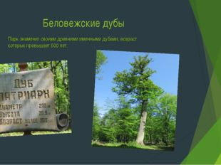 Беловежские дубы Парк знаменит своими древними именными дубами, возраст котор