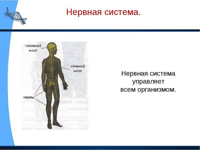 Нервная система. Нервная система управляет всем организмом.