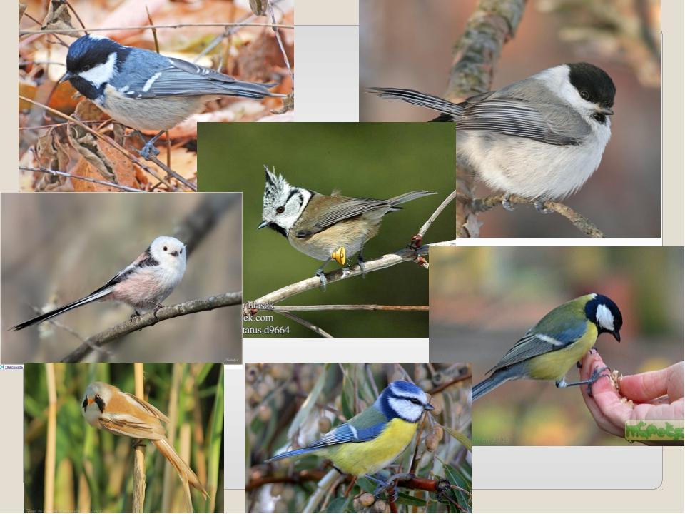 синицы виды фото и названия деревянные