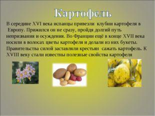 В середине XVI века испанцы привезли клубни картофеля в Европу. Прижился он н