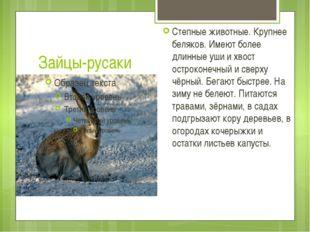 Зайцы-русаки Степные животные. Крупнее беляков. Имеют более длинные уши и хво