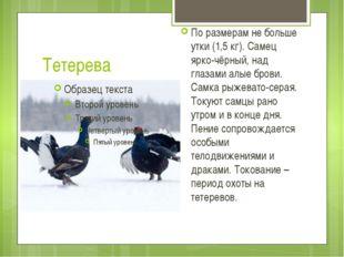 Тетерева По размерам не больше утки (1,5 кг). Самец ярко-чёрный, над глазами