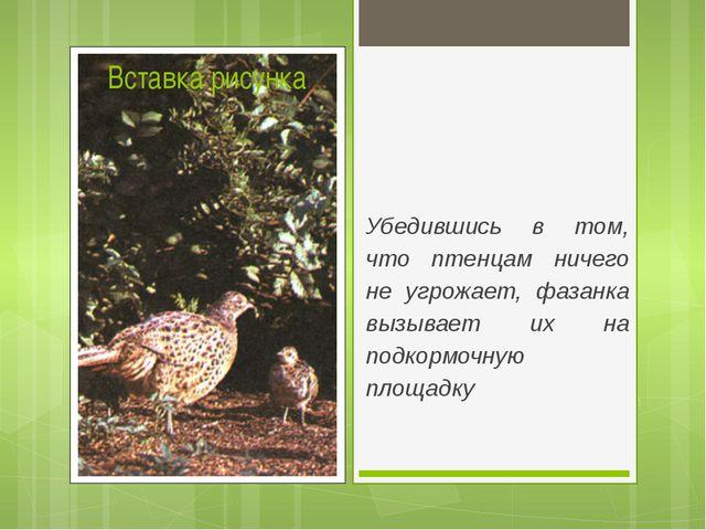 Убедившись в том, что птенцам ничего не угрожает, фазанка вызывает их на под...