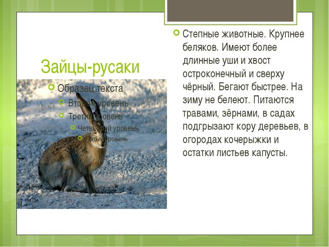 Зайцы-русаки Степные животные. Крупнее беляков. Имеют более длинные уши и хво...