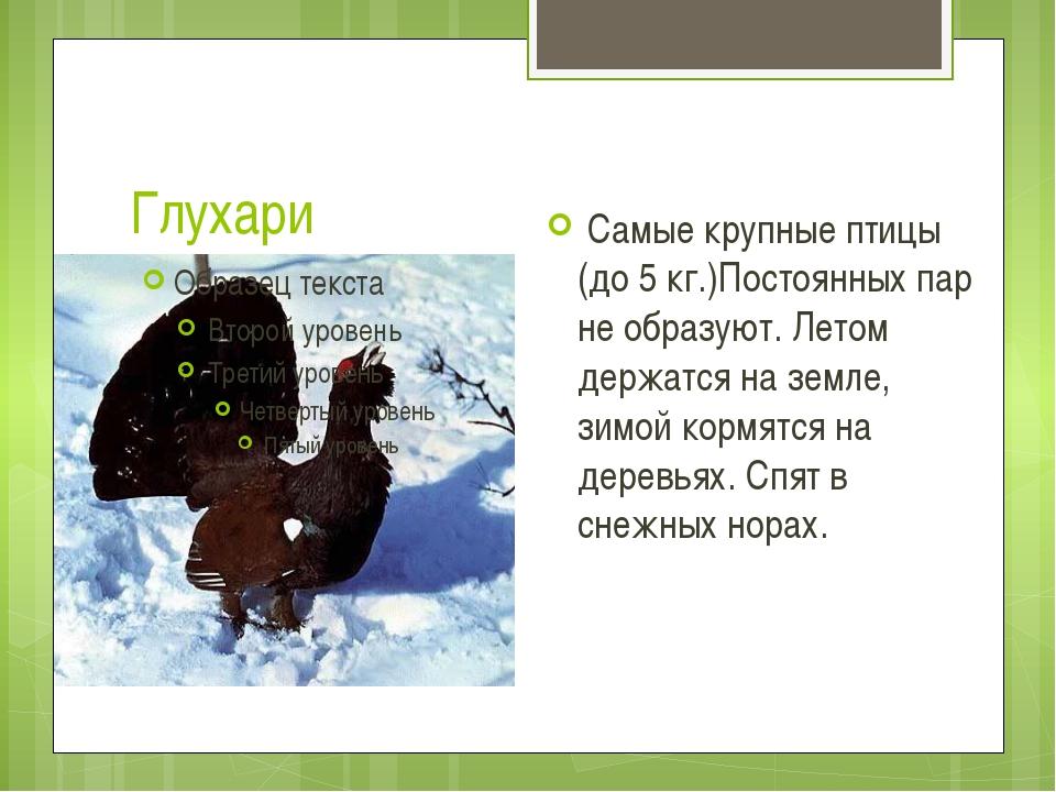 Глухари Самые крупные птицы (до 5 кг.)Постоянных пар не образуют. Летом держа...