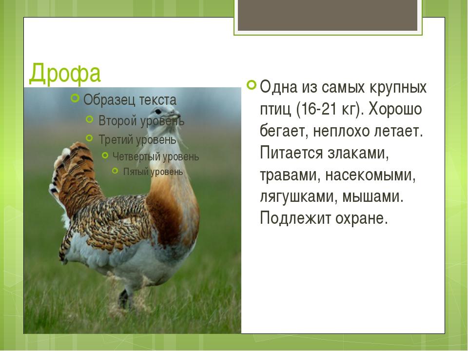 Дрофа Одна из самых крупных птиц (16-21 кг). Хорошо бегает, неплохо летает. П...