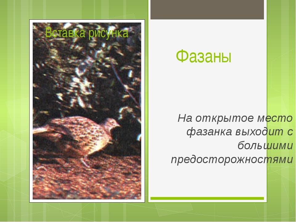 Фазаны На открытое место фазанка выходит с большими предосторожностями
