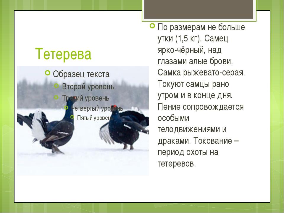Тетерева По размерам не больше утки (1,5 кг). Самец ярко-чёрный, над глазами...