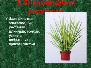 1.Злаковидные растения У большинства злаковидных растений длинные, тонкие, у