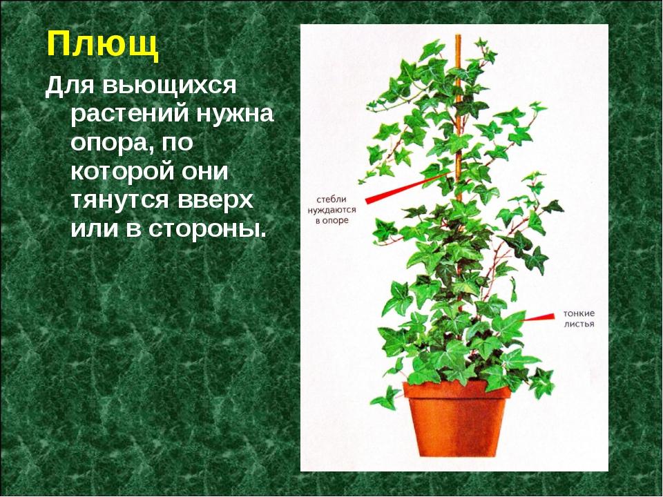 Плющ Для вьющихся растений нужна опора, по которой они тянутся вверх или в ст...