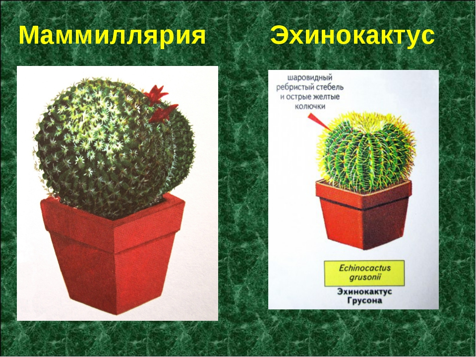 Маммиллярия Эхинокактус