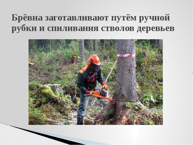 Брёвна заготавливают путём ручной рубки и спиливания стволов деревьев