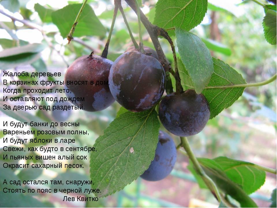 Жалоба деревьев Вкорзинах фрукты вносят вдом, Когда проходит лето, И оставл...