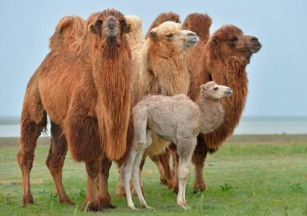 C:\Documents and Settings\User\Рабочий стол\camel-family.jpg