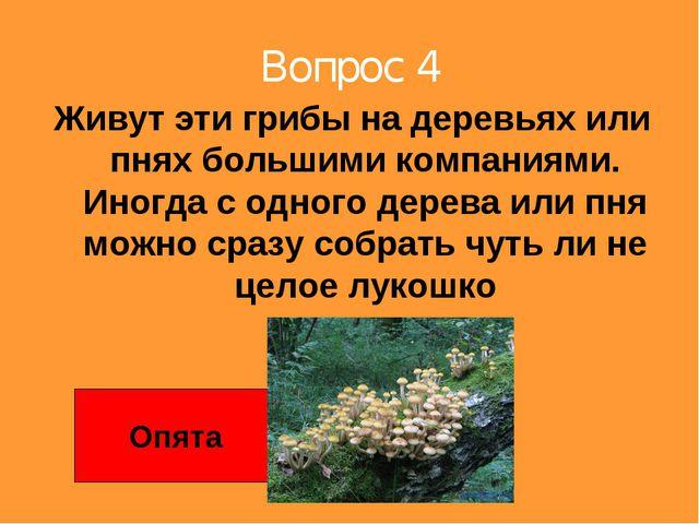 Вопрос 4 Живут эти грибы на деревьях или пнях большими компаниями. Иногда с о...