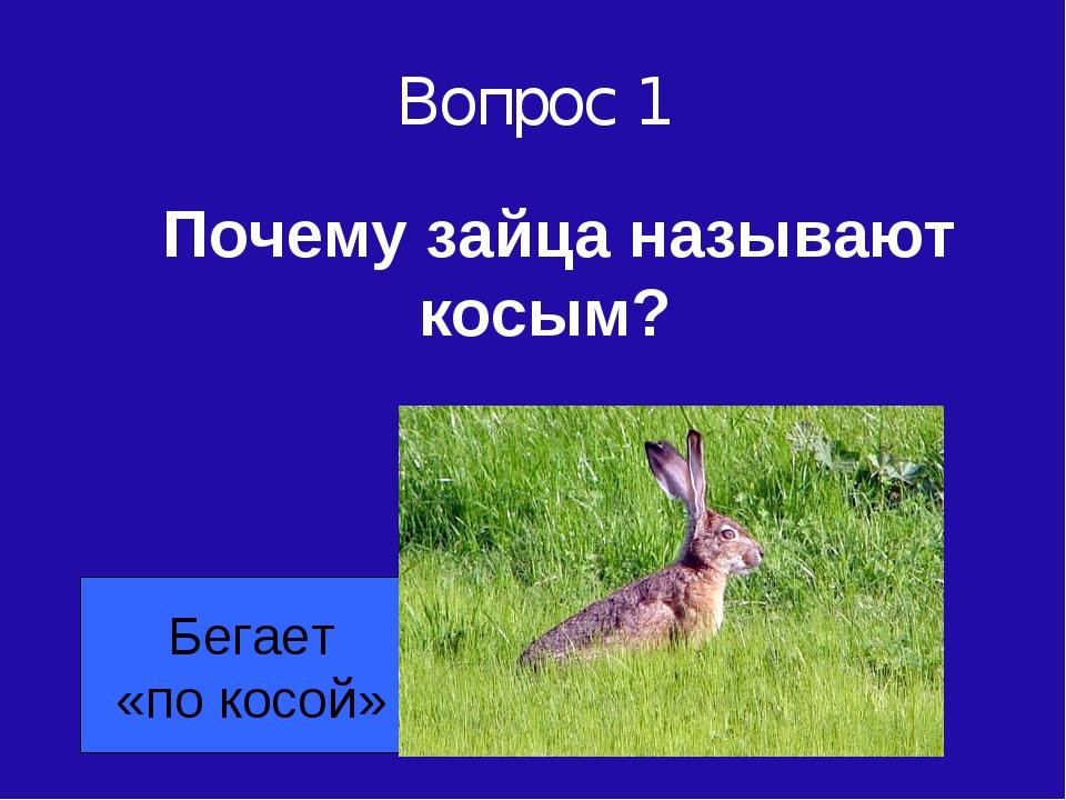 Вопрос 1 Почему зайца называют косым? Бегает «по косой»