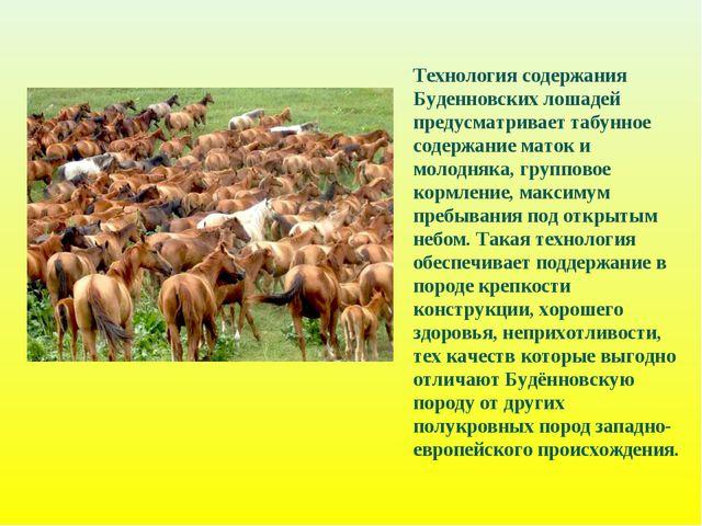 Технология содержания Буденновских лошадей предусматривает табунное содержани...