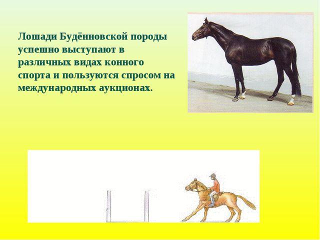 Лошади Будённовской породы успешно выступают в различных видах конного спорта...