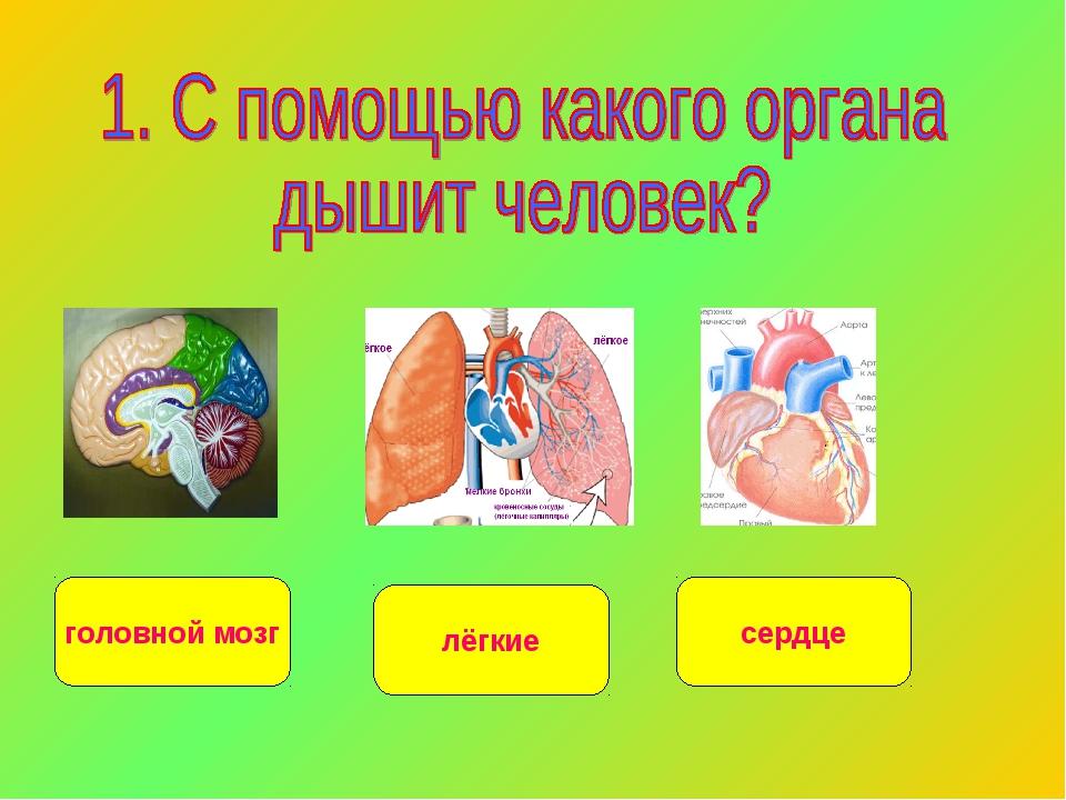 головной мозг сердце лёгкие