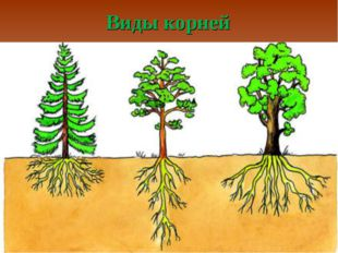 Виды корней